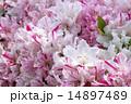 白とピンクのツツジの花のアップ 14897489