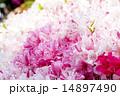 白とピンクのツツジの花のアップ 14897490