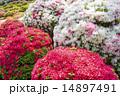赤白ピンクのツツジの花 14897491
