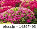 ピンクと赤のツツジの花 14897493