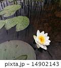 ゆり 水分 ホワイトの写真 14902143