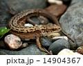 とかげ トカゲ 動物の写真 14904367