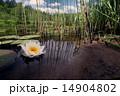 ゆり 水分 ホワイトの写真 14904802