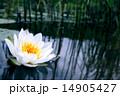 ゆり 水分 ホワイトの写真 14905427