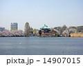 不忍池 蓮池 桜の写真 14907015