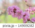 桃の花 14909282