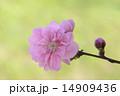 桃の花 14909436