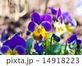 garden pansy (pansies, Viola, Viola tricolor)  14918223