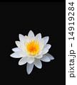 蓮の花 黒バック 14919284