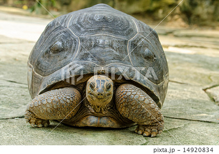 Aldabra Tortoise 14920834
