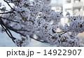 桜 14922907