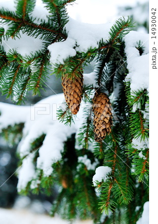 pine branch covered with snow