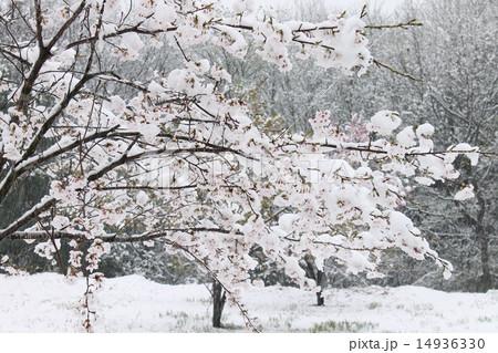 4月の雪桜 14936330