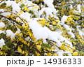 レンギョウ 雪 花の写真 14936333