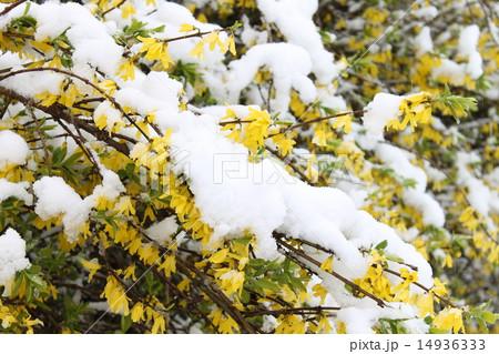 4月の雪の日の花 14936333