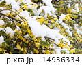 レンギョウ 雪 花の写真 14936334
