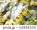 レンギョウ 雪 花の写真 14936335