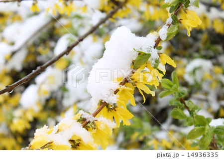 4月の雪の日の花 14936335