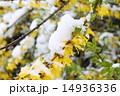 レンギョウ 雪 花の写真 14936336
