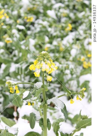 4月の雪の日の花 14936337