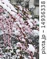 4月の雪と花 14936338