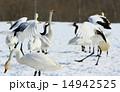 白鳥 14942525