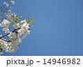 桜と青空 14946982