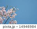 桜と青空 14946984
