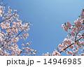 桜と青空 14946985