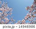 桜と青空 14946986
