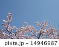 桜と青空 14946987