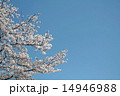 桜と青空 14946988