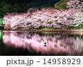 三渓園の夜桜 14958929
