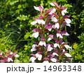 アカンサス 葉薊 花の写真 14963348