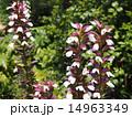アカンサス 葉薊 花の写真 14963349