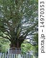 速玉大社 梛 巨木の写真 14970353
