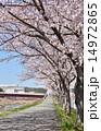 開花 桜並木 サイクリングロードの写真 14972865