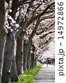 開花 桜並木 サイクリングロードの写真 14972866