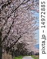 開花 桜並木 サイクリングロードの写真 14972885