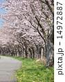 開花 桜並木 サイクリングロードの写真 14972887