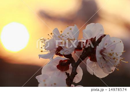 朝日と朝焼けを背景に幻想的な夜明けを迎えている生き生きとしたピンク色の花(アンズ) 14978574
