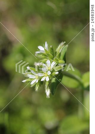 オランダミミナグサの花02 14983948