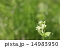 和蘭耳菜草 花 蕾の写真 14983950