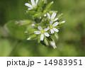 和蘭耳菜草 花 蕾の写真 14983951