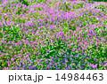ホトケノザ 満開 群生の写真 14984463