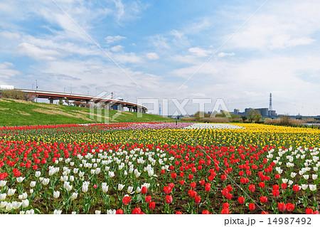都市農業公園の河川敷に咲くカラフルなチューリップ畑と青空 14987492