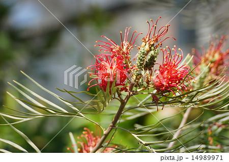 ベニバナハゴロモノキ 紅花羽衣の木 14989971