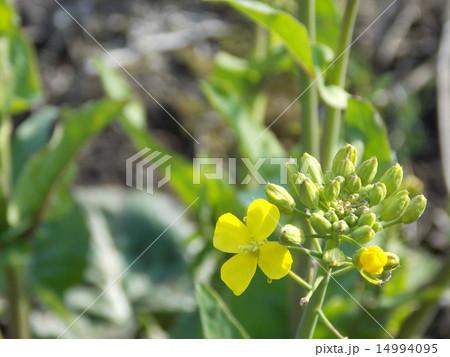 菜の花 14994095