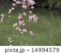 池 枝垂れ桜 水辺の写真 14994579