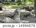 遠吠え シンリンオオカミ オオカミの写真 14994678